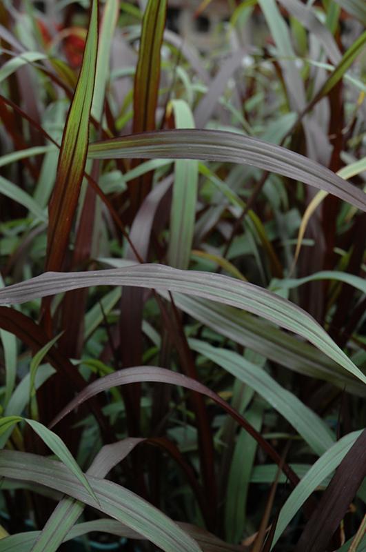First Knight Fountain Grass Pennisetum Purpureum First