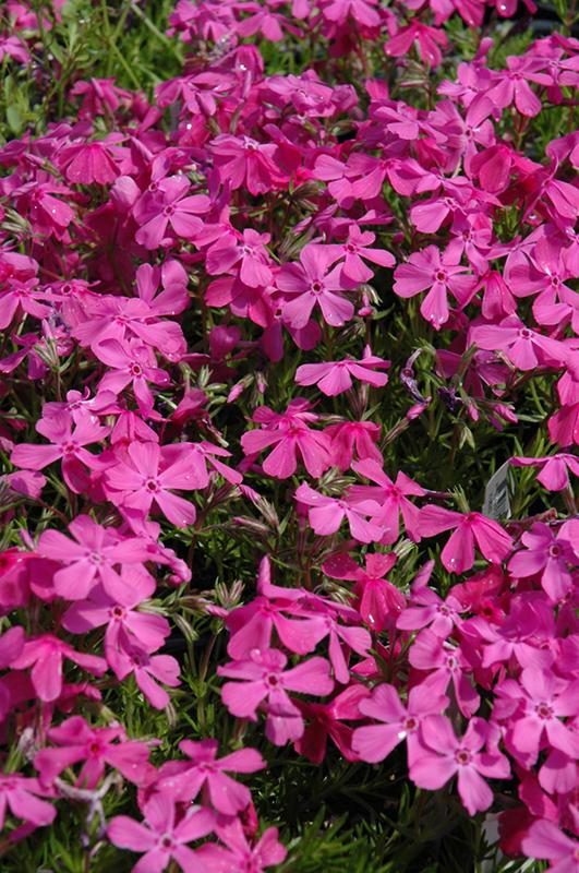 Drummond S Pink Moss Phlox Subulata At Wedel Nursery