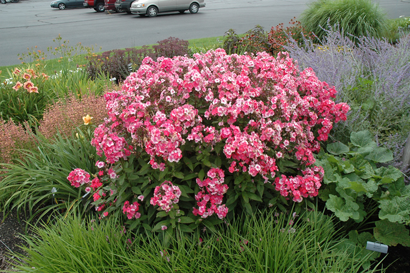 Superbe Glamour Girl Garden Phlox (Phlox Paniculata U0027Glamour Girlu0027) At Flaggu0027s  Garden Center