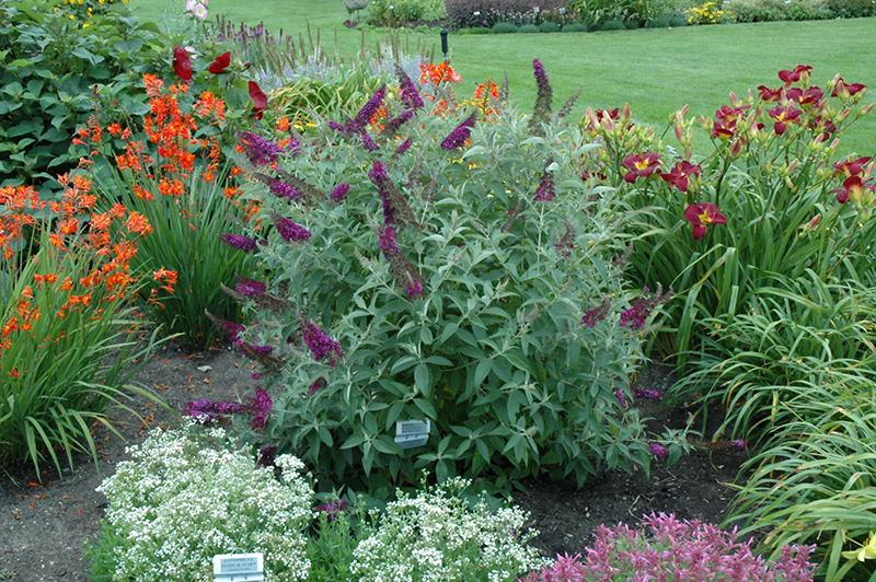 Butterfly Bush Garden Pictures to Pin on Pinterest PinsDaddy