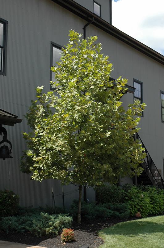 London Planetree, \'Columbia\' | Lurvey Landscape Supply