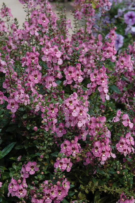 Archangel Orchid Pink Angelonia Angelonia Angustifolia