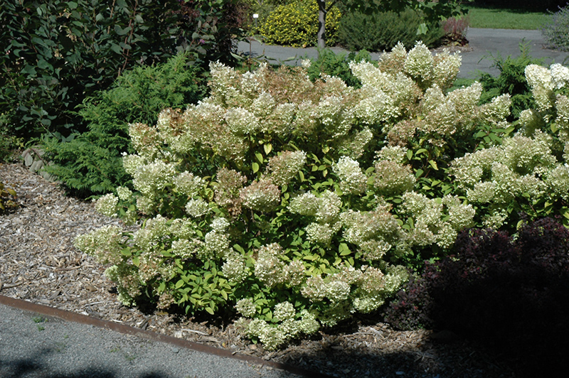 bachmans garden center. Bobo® Hydrangea (Hydrangea Paniculata \u0027ILVOBO\u0027) At Bachman\u0027s Landscaping Bachmans Garden Center