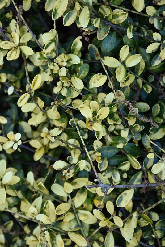 Golden Gem Japanese Holly (Ilex crenata \'Golden Gem\') in Saskatoon ...