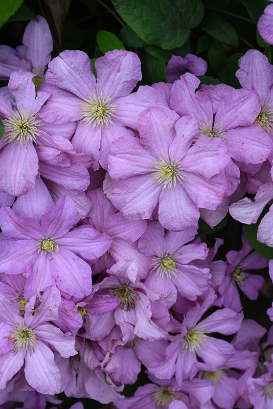 Comtesse de Bouchaud Clematis (Clematis 'Comtesse de Bouchaud') at Flagg's Garden Center
