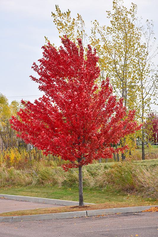 Autumn Spire Red Maple Acer Rubrum Autumn Spire In Chaska