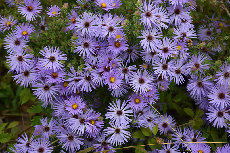 October Skies Aster (Aster oblongifolius 'October Skies') at Flagg's Garden Center
