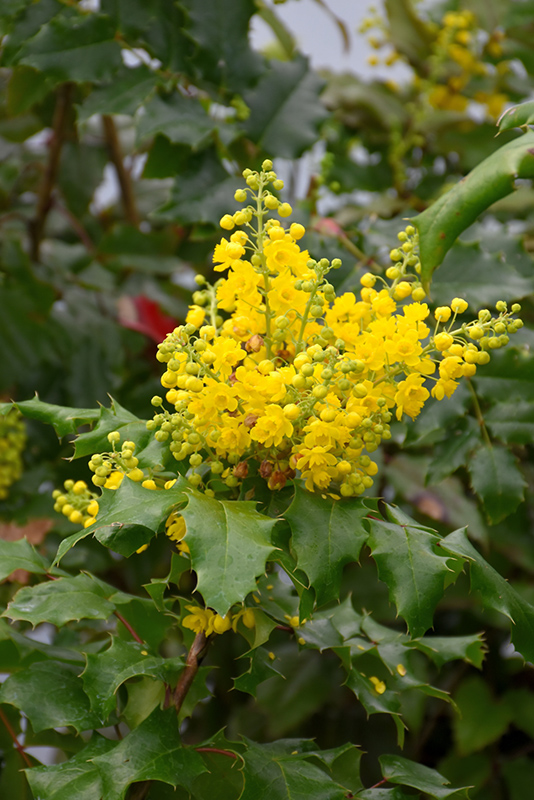 Holly oregon grape 5 lurvey landscape supply image 1 mightylinksfo