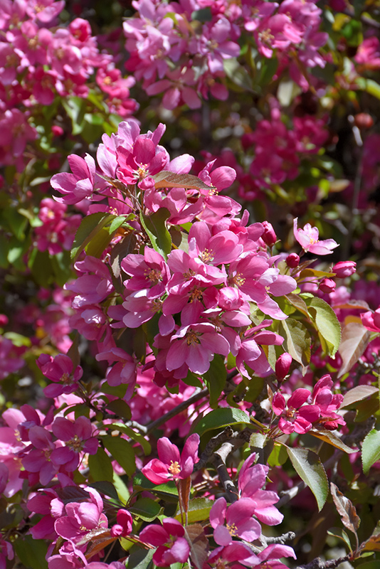 Makamik Flowering Crab (Malus 'Makamik') at Arrowhead Nurseries Ltd.