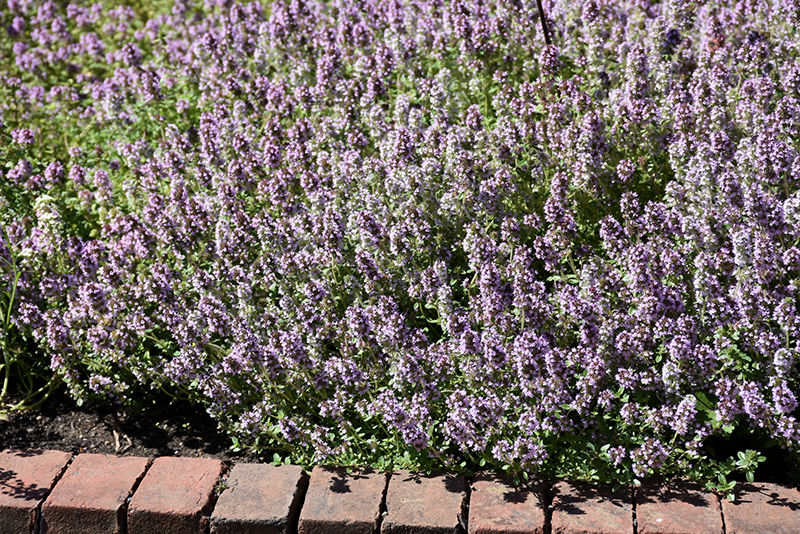 Common Thyme (Thymus vulgaris) at Flagg's Garden Center