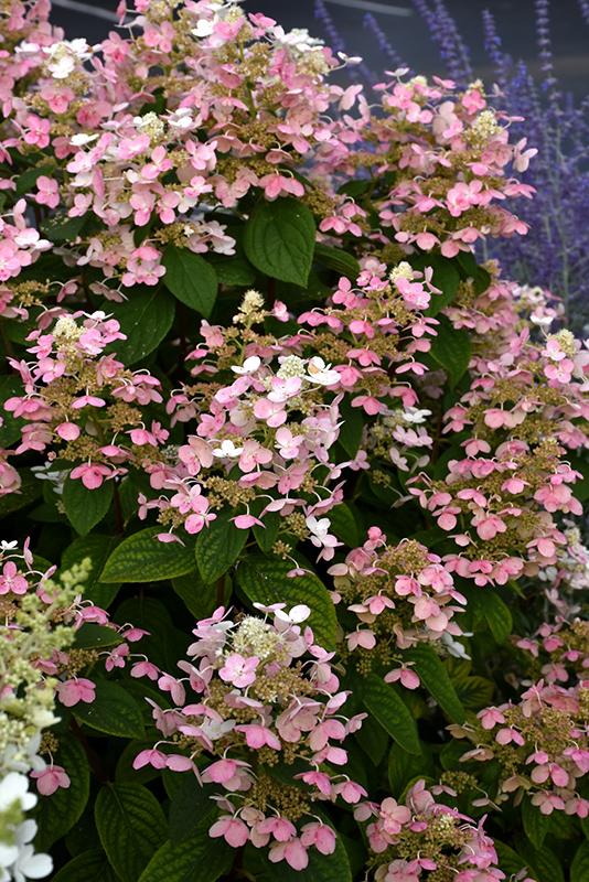 Chalet Nursery And Garden Center: Quick Fire Hydrangea (Hydrangea Paniculata 'Bulk') In