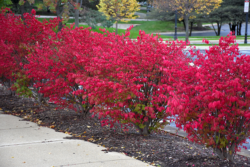 Fire Ball Eounymus Euonymus Alatus Select In