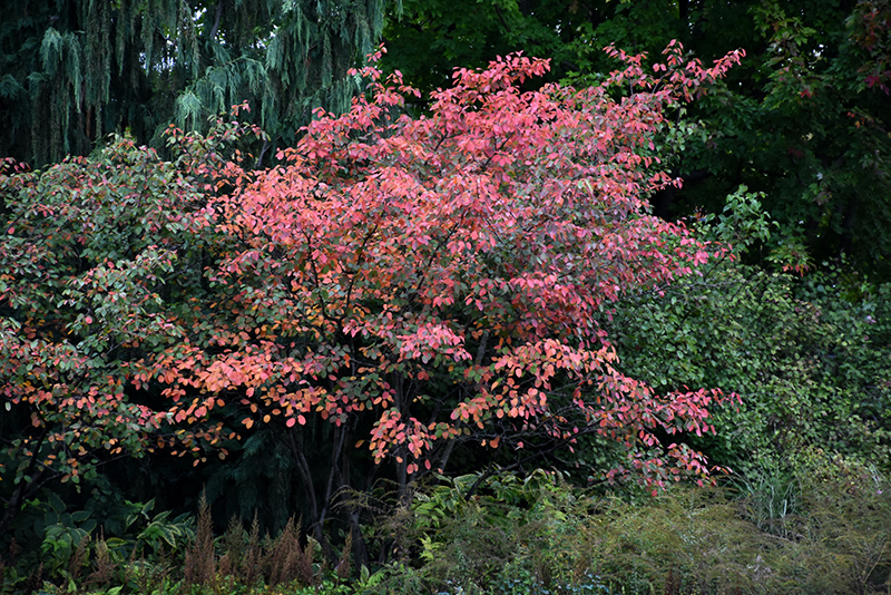 Autumn brilliance serviceberry clump amelanchier x grandiflora autumn brilliance serviceberry clump amelanchier x grandiflora autumn brilliance at bachmans landscaping thecheapjerseys Gallery