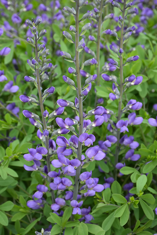 Blue Wild Indigo (Baptisia australis) at Flagg's Garden Center