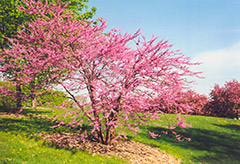 Northern Strain Redbud (Cercis canadensis 'Northern Strain') at The Mustard Seed