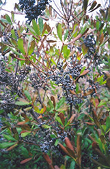 Northern Bayberry (Myrica pensylvanica) at The Mustard Seed