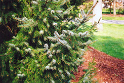 Serbian Spruce (Picea omorika) at The Mustard Seed