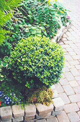 Japanese Boxwood (Buxus microphylla) at Flagg's Garden Center