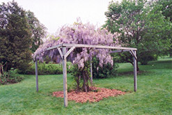 Aunt Dee Wisteria (Wisteria macrostachya 'Aunt Dee') at The Mustard Seed