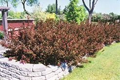 Wine and Roses® Weigela (Weigela florida 'Alexandra') at The Mustard Seed