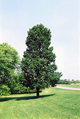 Sentry Linden (Tilia americana 'Sentry') at Bachman's Landscaping