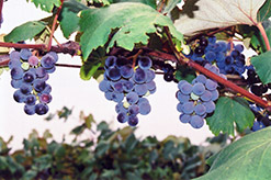 Concord Grape (Vitis 'Concord') at The Mustard Seed