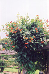 Trumpetvine (Campsis radicans) at The Mustard Seed