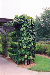Dutchman's Pipe (Aristolochia macrophylla) at The Mustard Seed