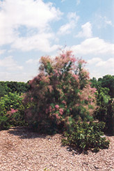Summer Glow Tamarisk (Tamarix ramosissima 'Summer Glow') at The Mustard Seed