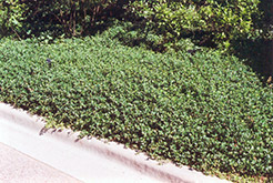 Bowles Periwinkle (Vinca minor 'Bowles') at The Mustard Seed