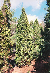 Pyramidal Arborvitae (Thuja occidentalis 'Fastigiata') at The Mustard Seed