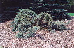 Creeping Blue Spruce (Picea pungens 'Glauca Prostrata') at Flagg's Garden Center