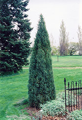 Medora Juniper (Juniperus scopulorum 'Medora') at Dundee Nursery
