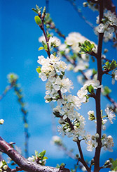 Mount Royal Plum (Prunus 'Mount Royal') at Green Haven Garden Centre