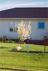 Battleford Apple (Malus 'Battleford') at Arrowhead Nurseries Ltd.