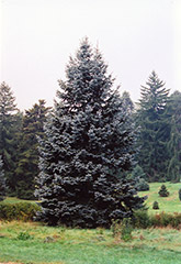 Hoopsii Blue Spruce (Picea pungens 'Hoopsii') at The Mustard Seed