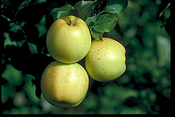 Honeygold Apple (Malus 'Honeygold') at The Mustard Seed