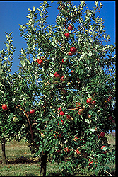 Zestar Apple (Malus 'Zestar') at The Mustard Seed