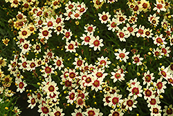 Snowberry Tickseed (Coreopsis 'Snowberry') at Flagg's Garden Center