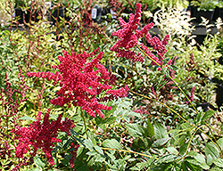 Glow Astilbe (Astilbe x arendsii 'Glow') at Flagg's Garden Center