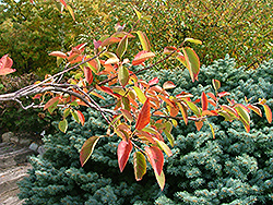 Tradition Serviceberry (Amelanchier canadensis 'Trazam') at A Very Successful Garden Center