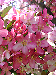 Camelot Flowering Crab (Malus 'Camelot') at The Mustard Seed
