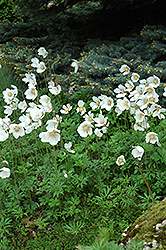 Windflower (Anemone sylvestris) at The Mustard Seed