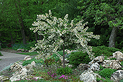 Tina Flowering Crab (Malus sargentii 'Tina') at The Mustard Seed