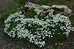 Candytuft (Iberis sempervirens) at The Mustard Seed