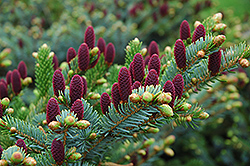 Acrocona Spruce (Picea abies 'Acrocona') at Bachman's Landscaping