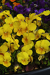 Penny Yellow Pansy (Viola cornuta 'Penny Yellow') at Flagg's Garden Center