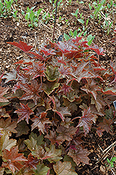 Palace Purple Coral Bells (Heuchera micrantha 'Palace Purple') at Bachman's Landscaping
