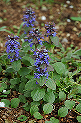 Caitlin's Giant Bugleweed (Ajuga reptans 'Caitlin's Giant') at The Mustard Seed