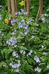 Creeping Jacob's Ladder (Polemonium reptans) at Flagg's Garden Center